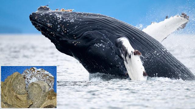 ambergis-whale-vomit