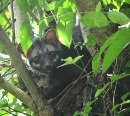 palm-civet